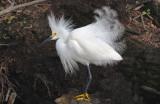 Snowy Egret  0409-2j  Corkscrew Swamp