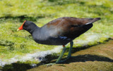 Common Moorhen  0409-3j  Green Cay