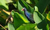 Purple Gallinule  0409-11j  Green Cay