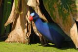 Purple Gallinule  0409-7j  Green Cay