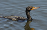 Double-crested Cormorant 0409-4j  Sanibel