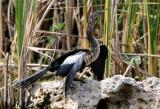 Anhinga  0409-10j  Everglades
