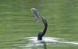 Anhinga  0409-2j  Everglades