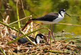 Black-necked Stilt  0409-1j  Wakodahatchee