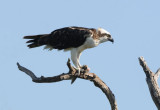 Osprey  0409-2j  Sanibel