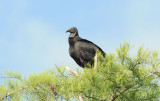 Black Vulture  0409-3j  Big Cypress
