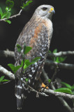 Red-shouldered Hawk 0409-6j  Corkscrew Swamp