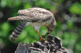 Red-shouldered Hawk  0409-3j  Wakodahatchee
