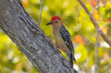 Red-bellied Woodpecker  0409-2j  Sanibel