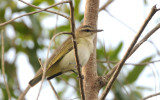 Black-whiskered Vireo  0409-1j  Key Largo