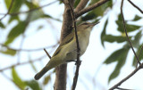 Black-whiskered Vireo  0409-2j  Key Largo