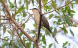 Mangrove Cuckoo  0409-1j  Key Largo