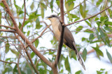 Mangrove Cuckoo  0409-2j  Key Largo