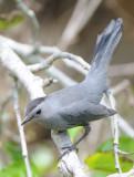 Gray Catbird  0409-1j  Fort Desoto