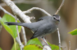 Gray Catbird  0409-2j  Fort Desoto