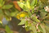 Prairie Warbler  0409-2j  Everglades