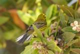 Prairie Warbler  0409-3j  Everglades