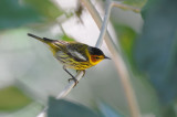 Cape May Warbler  0409-1j  Green Cay