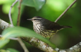 Northern Waterthrush  0409-3j  Corkscrew Swamp