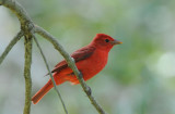 Summer Tanager 0409-3j  Fort Desoto