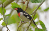 Rose Breasted Grosbeak  0409-2j  Fort Desoto