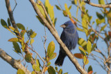 Blue Grosbeak  0409-1j  Sanibel