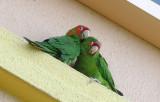 Mitered Parakeet  0409-3j  Baptist Hospital