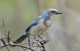 Florida Scrub Jay  0409-4j   Oscar Scherer