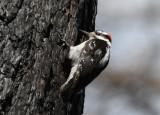 Hairy Woodpecker 0610-1j  Bethel Ridge