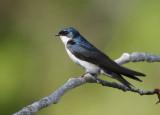Tree Swallow  0610-1j  Yakima Valley