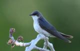 Tree Swallow Female  0610-4j  Yakima Valley