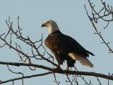 Bald Eagle at Sunset  0106-6j  Naches River