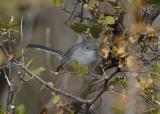 Blue-gray Gnatcatcher  0206-2j  Lake Patagonia, AZ