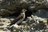 Rough Winged Swallow 0606-2j  Wenas Valley