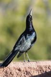 SW BLACKBIRDS