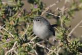 Black-tailed Gnatcatcher  0208-1j  Salome Hwy., AZ