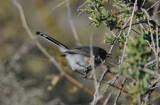 Black-tailed Gnatcatcher  0208-3j  Salome Hwy., AZ