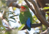 Peach-faced Lovebird  0208-1j  Gilbert, AZ