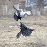 Raven leaping up while being harrassed by crow
