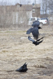 Raven being harrassed by crows