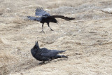 Raven being harrassed by crow