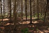 Pine trees at Kapkigiwan