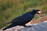 Raven on rock with brown egg