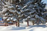 Evergreens and snow 2010 Dec 15