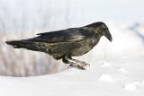 Raven standing on edge of snowbank