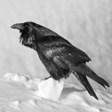 Raven on chunk of snow, chuffed up