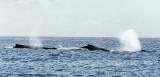Baleines à bosse au Canada ? Non, à l'île de la Réunion !