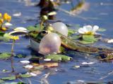 Grenouille verte avec les sacs vocaux gonflés