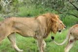 Deuxième safari dans la réserve de Masaï-Mara