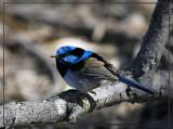 Blue Wren_2.jpg